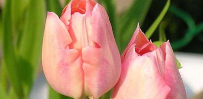 Tulipa Apricot Beauty
