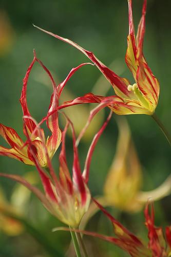 Tulipan Acuminata