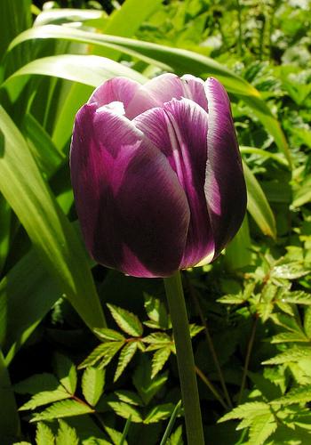 Tulipan Arabian Mystery