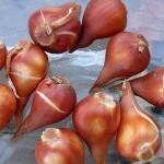 Rozmnażanie tulipanów
