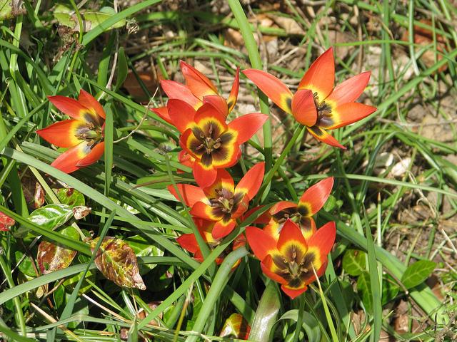 Choroby tulipanów