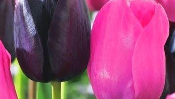 Kwitnienie tulipanów
