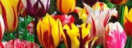 Rodzaje i odmiany tulipanów