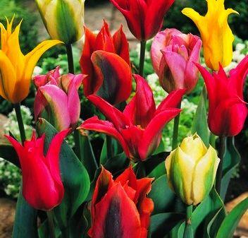 Rodzaje tulipanów