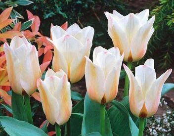 Jak pěstovat tulipány