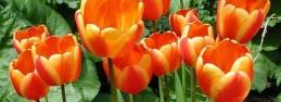 Tulipa Apeldoorn's Elite