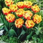 Uprawa tulipanów, tulipany – opis i uprawa