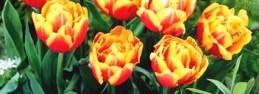 Tulipan uprawa