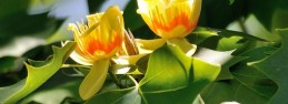 Tulipanowiec