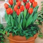 Pędzenie tulipanów – Kwitnące tulipany w zimie – ale jak?