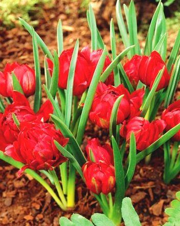 Uprawa tulipanów