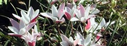 Tulipa Lady Jane