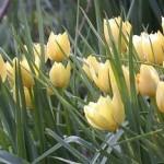Tulipan Batalinii