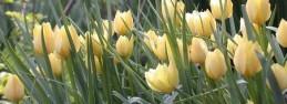 Tulipa batalinii