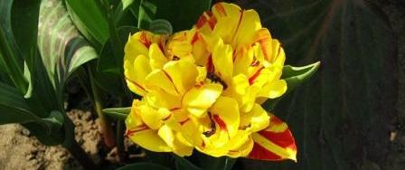Tulipa Borszczowii