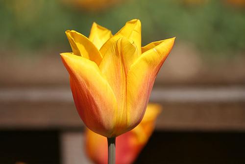 Tulipan Calypso