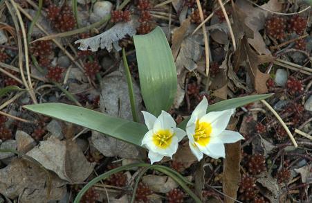 Tulipan Biflora