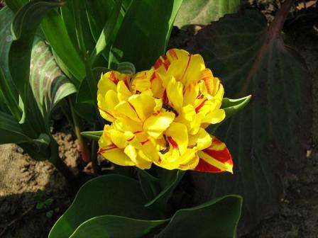 Tulipan Borszczowii